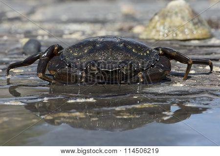 Green Shore Crab (Carcinus Maenus)