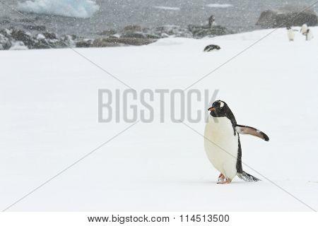 Gentoo Penguin, Ronge Island, Antarctica