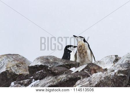 Chinstrap Penguin Mating Pair