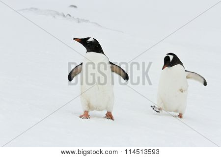 Pair Of Gentoo Penguins