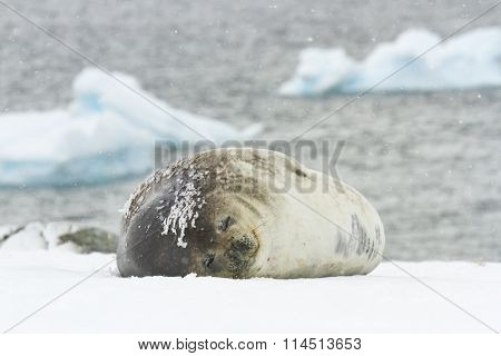 Weddell Seal On Ronge Island, Antarctica