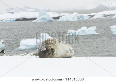 Weddell Seal Sleeping Ronge Island, Antarctica