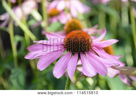 Field of Echinacea purpurea, eastern purple coneflower or purple coneflower