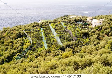 Cultivated Fields By The Sea Near Sorrento, Italy