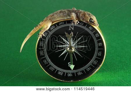 Gecko Lizard and Compass