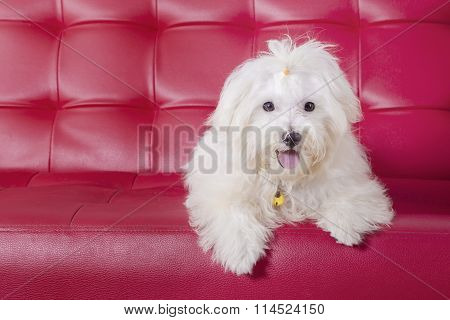Maltese Dog Lying On The Sofa