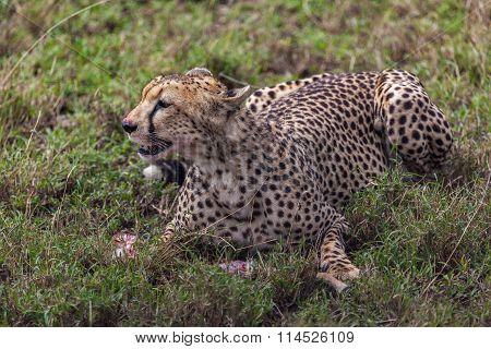 Cheetah Eating Its Meal In Serengeti National Park