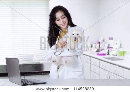 Veterinarian Is Examining A Maltese Dog