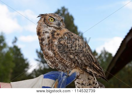 Great Horned Owl held on gloved hand
