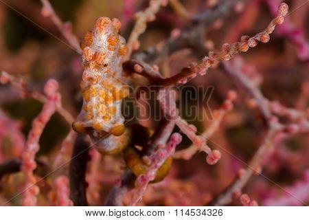 Pink Pygmy Seahorse