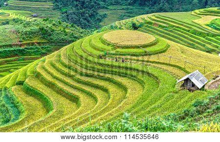 Farmer groups in the fields harvesting rice terraced fields