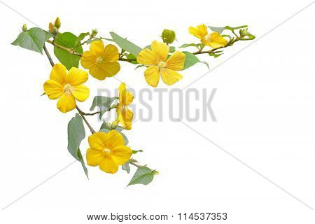 Small Yellow Wild Hibiscus Flower on branch isolated on white background