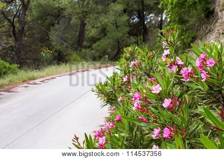 The road in the forest, trees and pink oleander flowers