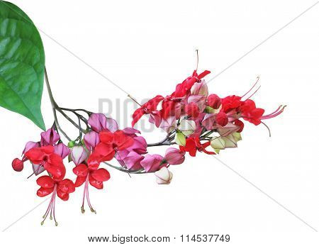 Clerodendrum thomsoniae bleeding heart vinel flower isolated on white background