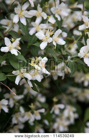 A jasmine bush in full springtime blossom