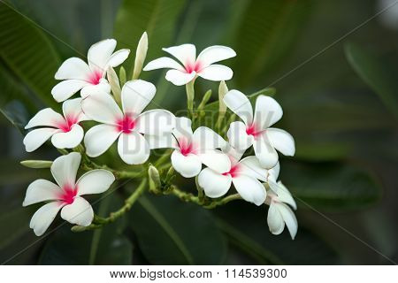 Close Up Of Tropical Flowers Frangipani (plumeria)