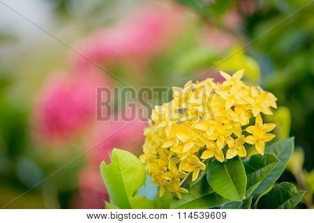 Yellow Ixora Blooming In The Garden