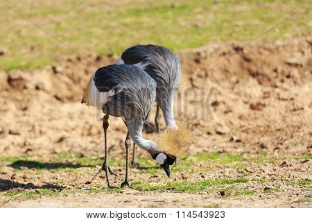 Pair Of Crowned Cranes