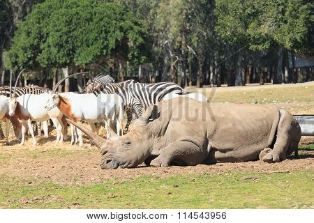 One Rhinoceros Laying On The Ground