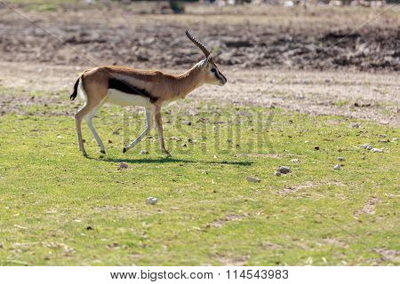 Young Thomsons Gazelle