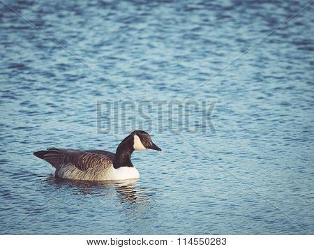 Canada Goose Swimming in Morning Sun