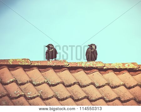 Two Western Jackdaws on Roof of House