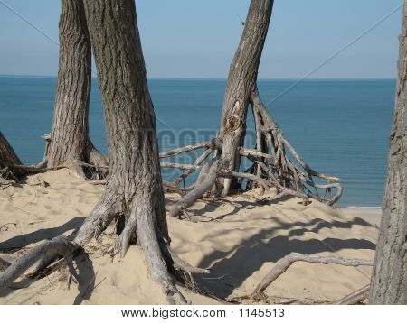 Trees Rooting On Sand