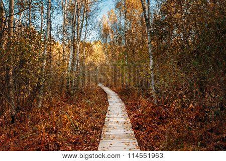 Wooden boarding path way pathway in autumn forest near bog marsh
