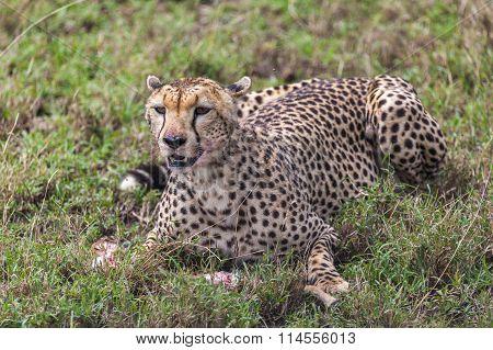 Cheetah Eating Its Meal