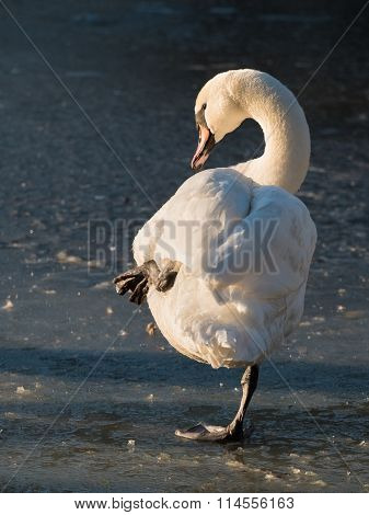 A beautiful graceful swan is balancing on one leg on a frozen pond in the evening winter sun. Location: Lund, Sweden.