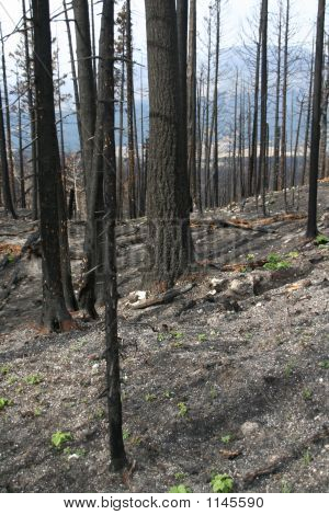 Forest Fire Aftermath