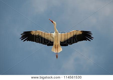 White Stork overhead