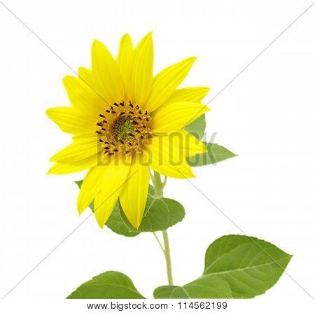 sunflower closeup on white