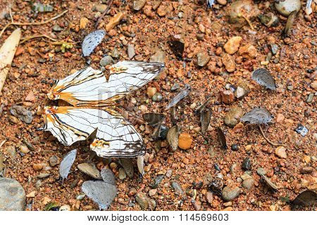 The Common Map Butterfly