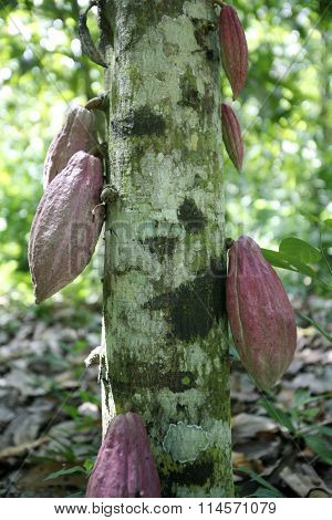South America Venezuela Chuao Cacao Plantation