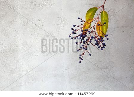 Privet Berries  Wall