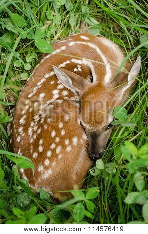 Spring Deer Fawn in Lush Green Clover