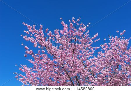 Lush blooming Japanese Cherry