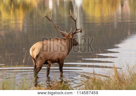 Bull Elk by Lake