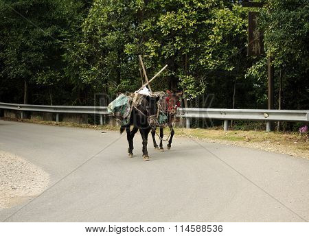 Pack Mules on Road