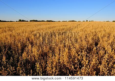 Field oatmeal. Ripe oats.