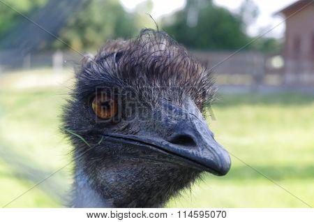 Curious ostrich emu