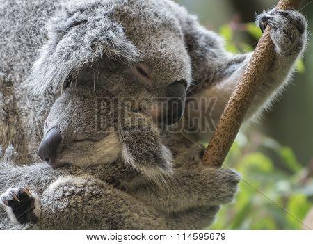 Koala and her joey