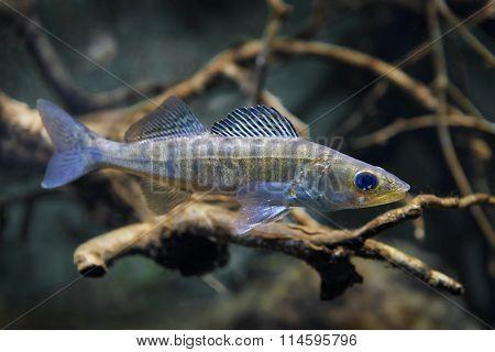 Zander (sander Lucioperca) Juvenile