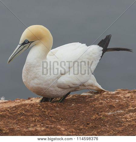 Behavior Of Wild Migrating Gannets At Island Helgoland, Germany, Summer
