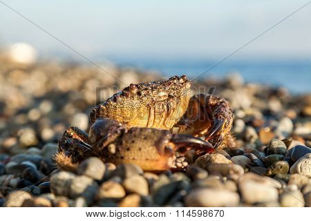 The Brown Crab