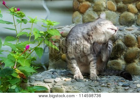 The Gray Tabby