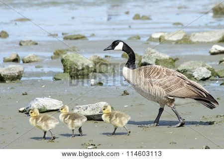 Female Canada goose, scientific name Branta canadensis, teaching her goslings how to find food