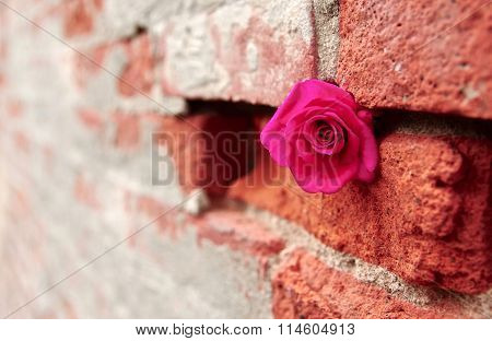 Fuchsia Rose Stashed into Crevice of a Mortared Brick Wall