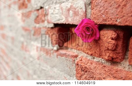 Hot Pink Rose Stashed into Crevice of a Brick and Mortar Wall